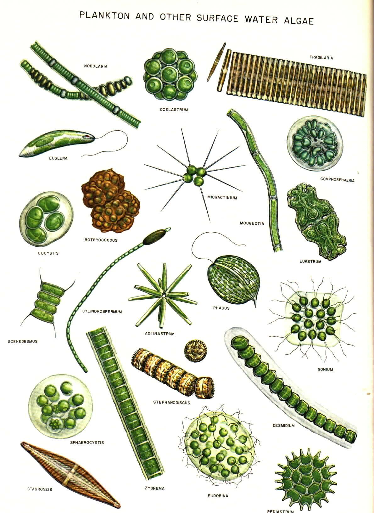 common algae drawings