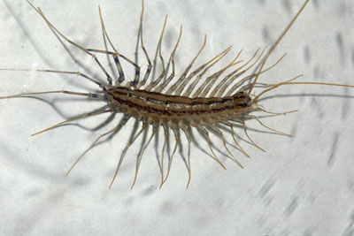 how to get rid of millipedes in my house plants