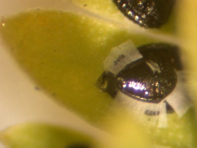 Acacia Whitefly pupae with halo
