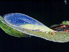 Adult Lacewing