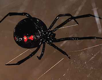 Black Widow Spiders (Theridiidae:Lactrodectus sp.) in the Low Desert