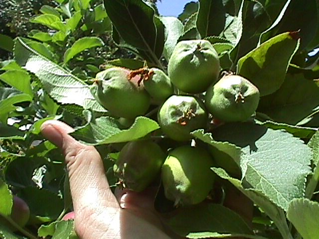 Cluster of apples prior to thinning