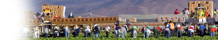 Lettuce harvest in Yuma, crew cut and package the product in the field