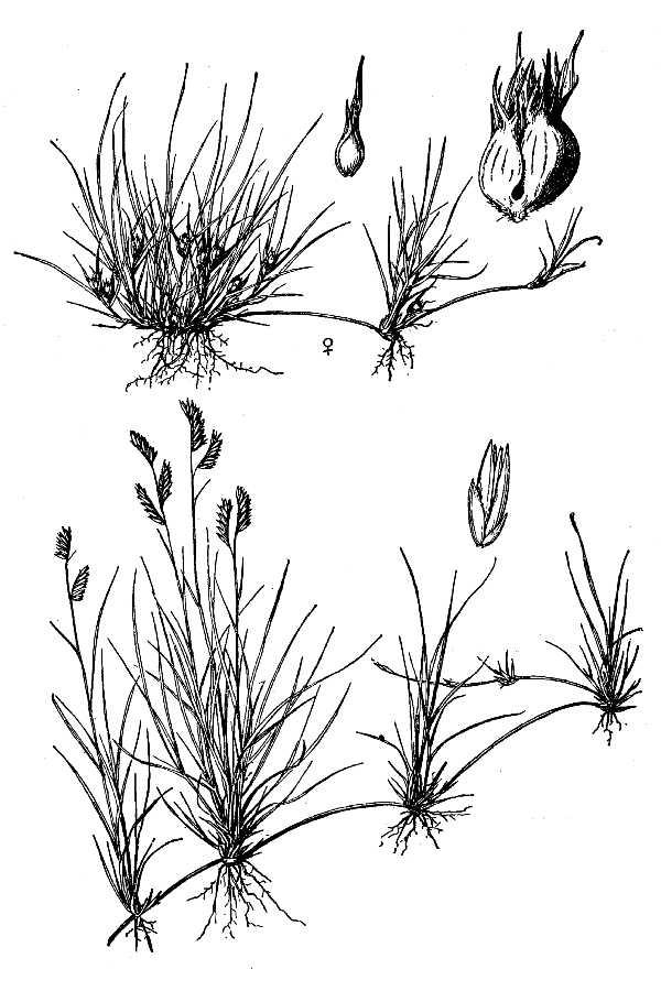 Line Drawing Grass : Backyard gardener buffalograss line drawing